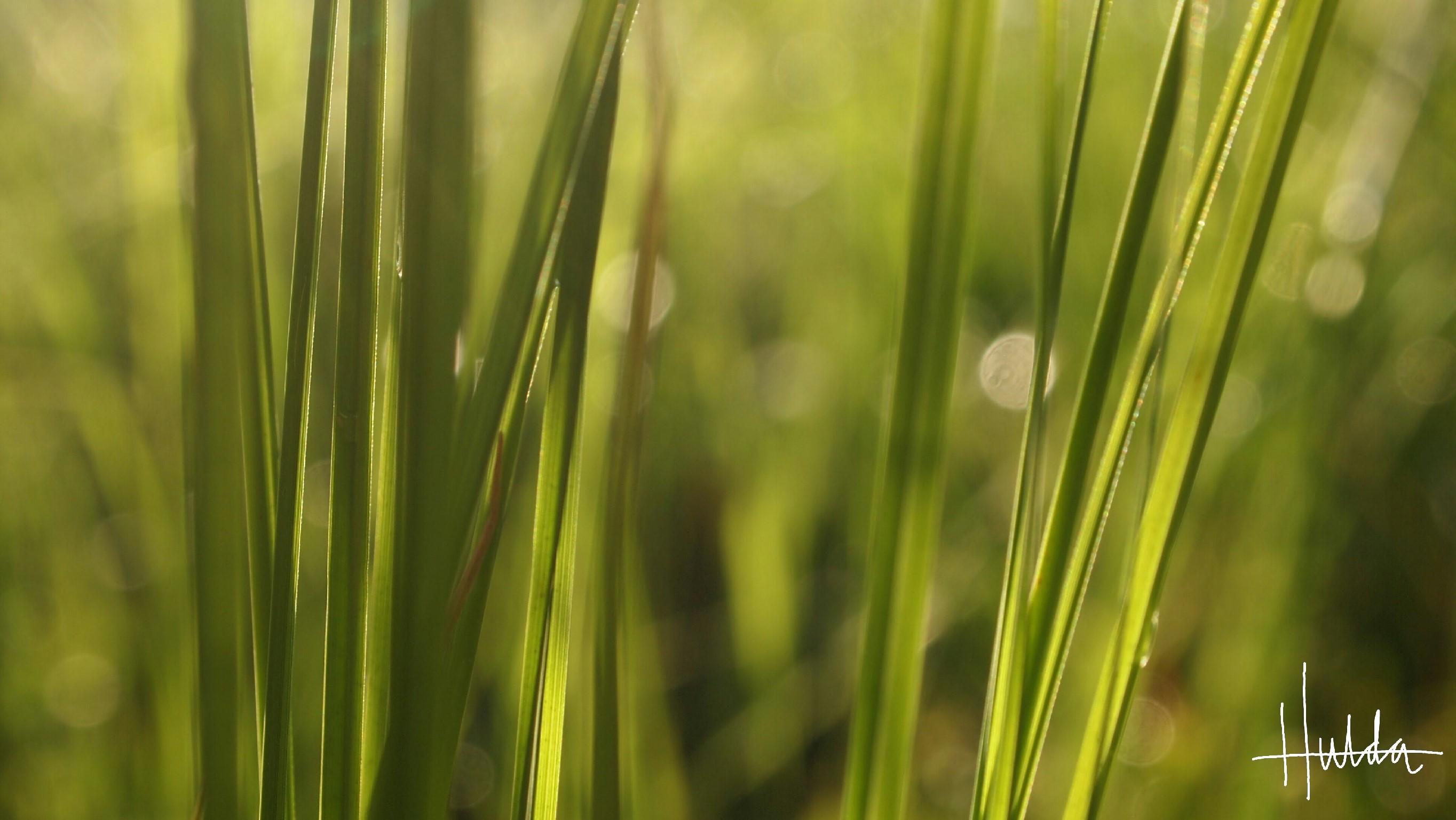 Närbild på grässtrån